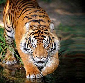tiger-min